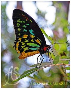 So beautiful. someone said its probably a Goliath Birdwing. Not sure but so beautiful