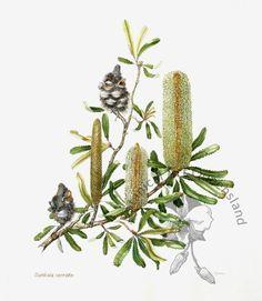 Beryl Robertson: Banksia Serrata | BASQ Australian Wildflowers, Botanical Art, Native Plants, Botany, Cactus Plants, Wild Flowers, Nativity, Flora, Sketches