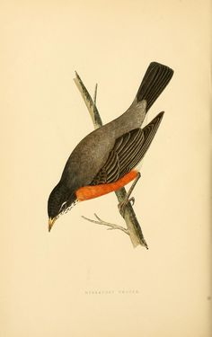 Migratory thrush. A history of the birds of Europe, not observed in the British Isles v.2 London :G. Bell & Sons,1875-1876. Biodiversitylibrary. Biodivlibrary. BHL. Biodiversity Heritage Library