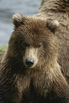 ✭ Close View of a Grizzly Bear