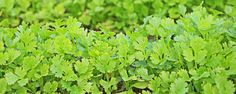 Por que os temperos são cheirosos? - Você já pensou do porquê de algumas plantas possuírem aroma (plantas aromáticas) e outras não? A pergunta é simples, mas a resposta é um pouco mais complexa e vamos explicar direitinho aqui.  Vamos lá…  O metabolismo de uma planta pode ser dividido em primário e secundário e as substâncias qu... - http://www.gadorastreado.com/ecoblog/2015/03/09/por-que-os-temperos-sao-cheirosos/