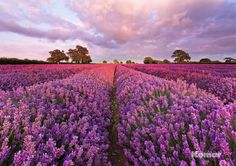 Fotobehang Komar - Lavendel - FotobehangFactory.nl