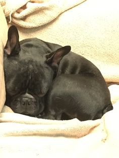 Napoleon the Sleeping French Bulldog