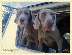 Slovakian Rough Haired Pointer & Weimaraner