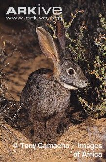 Riverine rabbit- one of the most endangered animals in South Africa.
