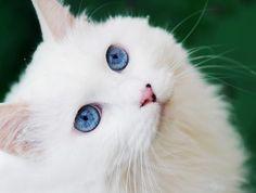 Oggi vogliamo stupirvi con lo sguardo magnetico di Yaro, un gatto d'Angora Turco con due splendidi occhi azzurri. Yaro è