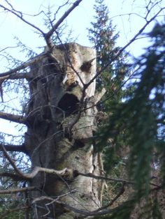 trees with faces | tree face | Tree faces