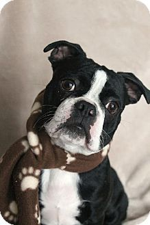 Various Cities in the entire Southeast, #KY - #Adoptable #BostonTerrier. Meet Silas Roger KY a Puppy for Adoption.