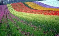 The 22 Most Unbelievably Colorful Places On Earth -- Hokkaido, Japan -- The Rainbow Field in Japan is a beautiful rolling hill full of neatly planted rows of multicolored flowers. All Nature, Flowers Nature, Colorful Flowers, Beautiful World, Beautiful Places, Valley Of Flowers, Juneau Alaska, Favim, World Of Color