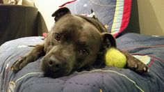 Staffy on his bed with ball. Gotta love a staffy face #staffy #bully #cute