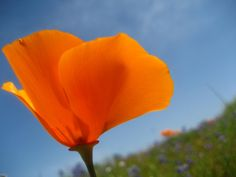 California Poppy....