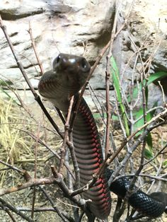 The venomous red belly black snake
