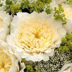 Patience Rose | David Austin Wedding Rose | Van Lier Nurseries