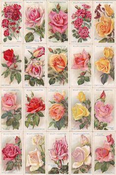 cigarettes card-ROSES 1926
