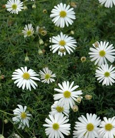 Brachycome multifida 'Pacific Cloud' to front and pool ornamental garden beds Dry Garden, Garden Beds, Garden Plants, African Plants, Woodland House, Herbaceous Perennials, Garden Planning, White Flowers, Daisy