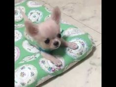 Chihuahua puppy has the cutest bark!
