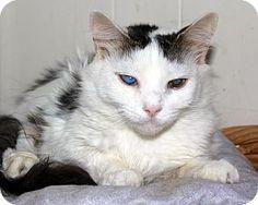 New York, NY - Domestic Shorthair. Meet April, a cat for adoption. http://www.adoptapet.com/pet/13001821-new-york-new-york-cat
