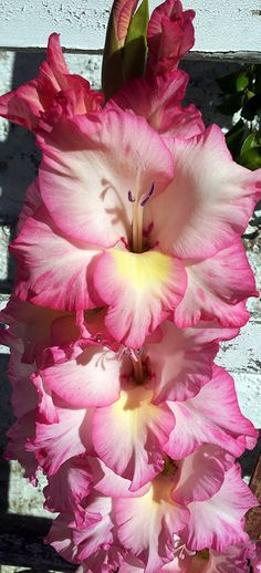 One of the most beautiful flowers that can be grown in a garden, the Gladiolus! Photo by Diego Raimonda