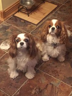 Ginger and Lucy waiting patiently for their treats! King Charles Puppy, Cavalier King Charles Dog, King Charles Spaniel, Cavalier King Spaniel, Spaniel Dog, Funny Animal Pictures, Adorable Pictures, Animals And Pets, Cute Animals