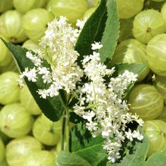 Elderflower and gooseberry copyright www.ice-cream-magazine.com