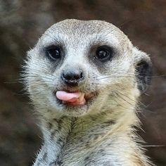 #meerkat photographed July 2, 2016 at Virginia Zoo, Norfolk, VA
