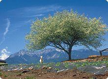 ヤマナシの木の写真