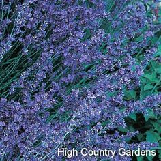 "Lavandula angustifolia 'Buena Vista'  Buena Vista English Lavender --18-24"" x 18"" wide, (cutting propagated) Blooms twice per season. *Not recommended for fall planting in Zones 5 & 6 (thru highcountrygardens.com)"