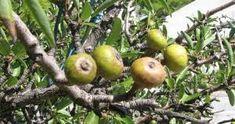 ΘΕΡΑΠΕΥΤΙΚΑ ΦΥΤΑ ΝΑΞΟΥ Pyrus, Permaculture, Fruits And Veggies, Pear, Seeds, Health Fitness, Apple, World, Gypsy