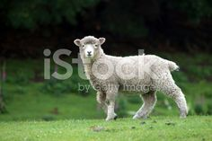 A sheep looks to the camera in a field. Royalty Free Images, Royalty Free Stock Photos, Kiwiana, Livestock, New Zealand, Sheep, Agriculture, Photography, Animals