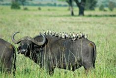 Some birds migrate south on water buffalo. While the pace is slower, it isn't nearly as tiring.