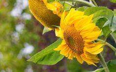 Preview wallpaper sunflower, flowers, petals