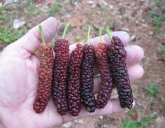 Mulberry varieties (the one pictured is Pakistan Mulberry)... I have got to grow…