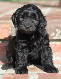 Cute Black Cockapoo Puppies
