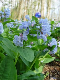WashingtonGardener: How to Grow Virginia Bluebells