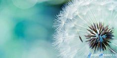Dandelion Close Up Blue Twitter Header