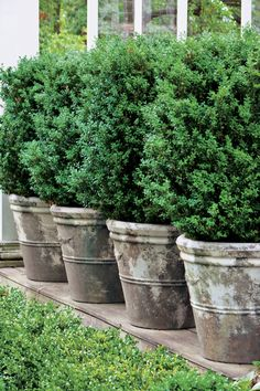 125 Container Gardening Ideas Potted boxwoods offer formal elegance with little maintenance. This large American variety creates a living wall in a line of concrete planters. Plant Boxwoods in Pots Boxwood Landscaping, Front Yard Landscaping, Backyard Landscaping, Landscaping Ideas, Landscaping Software, Florida Landscaping, Backyard Ideas, Inexpensive Landscaping, Landscaping Melbourne