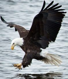 The Eagles, Bald Eagles, Love Birds, Beautiful Birds, Nature Animals, Animals And Pets, Eagle Pictures, Eagle Wings, Power Animal