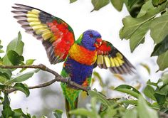 Rainbow Lorikeet. Found in Australia, eastern Indonesia, Papua New Guinea, New Calidonia, New Zealand and Hong Kong.