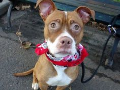 TO BE DESTROYED 10/24/2014 Manhattan Center - P My name is BREE. My Animal ID # is A1017532. I am a female brown and white pit bull mix. The shelter thinks I am about 1 YEAR. For more information on adopting from the NYC AC&C, or to find a rescue to assist, please read the following: http://urgentpetsondeathrow.org/must-read/