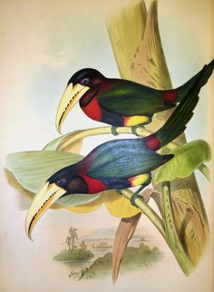 These magnificent images are from our copy of John Gould's Monograph of the Ramphastidae, or Family of Toucans, published in 1834. As you can see, the book contains some of Gould's most remarkable ...