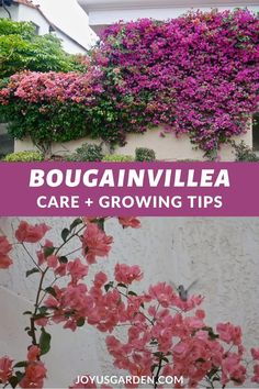 Bougainvilleas are flowering machines - they're an explosion of color. Find bougainvillea care & growing tips plus how to get the most flowering. Outdoor Plants, Garden Plants, Outdoor Gardens, Bonsai Plants, Container Plants, Container Gardening, Bougainvillea Care, House Plants Decor, Front Yard Landscaping