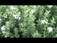 GREY BOX™ Westringia is a drought tolerant native box hedge plant   Native Shrubs & Ground Covers