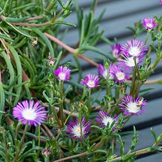 Trailing Ice Plant, Lampranthus spectabilis, keeps reaching for the sun and will cascade out of a container, with a bloom on every stem.