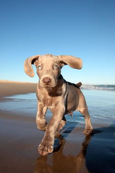 WEIMARANER PUPPY by Jonathan Pledger on 500px
