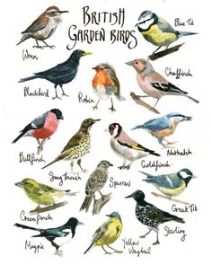 British Garden Birds Watercolor Painting Illustration Print 8 x 10 Print Giclee Aquarelle Rag