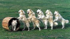 Indian Spitz Dog