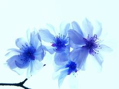 8b337e434 blue cherry blossoms - Google Search Japanese Watercolor, Sleeve Tattoos,  Watercolor Flowers, Watercolour