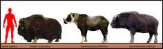 Bootherium & Euceratherium