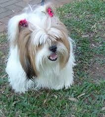 Image result for shih tzu dogs