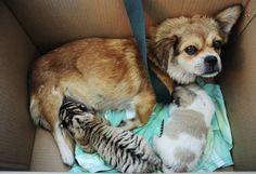 Leihmutter: Ein Hund füttert im Zoo von Qingdao (China) ein neugeborenes Tigerbaby.